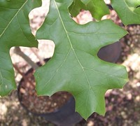 Cherry Bark Oak Picture