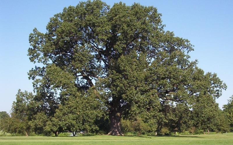 Cherry bark oak picture gardenality