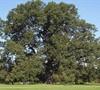 Cherry Bark Oak