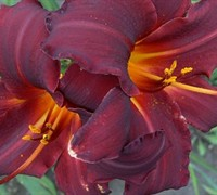 Chicago Blackout Daylily Picture