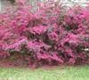 Fringe Flower 'Sizzlin' Pink'