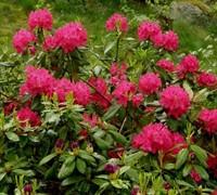 Nova Zembla Rhododendron Picture