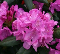 Roseum Elegans Rhododendron Picture