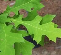 Nuttall Oak Tree Picture