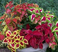 Wizard Mix Coleus Picture