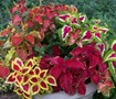 Wizard Mix Coleus