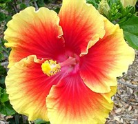 Anderson Yellow And Red Tropical Hibiscus Picture