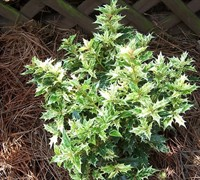 Goshiki Variegated Osmanthus Picture