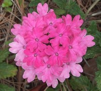 Homestead Pink Verbena Picture