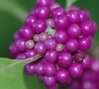 Americana Beautyberry Picture