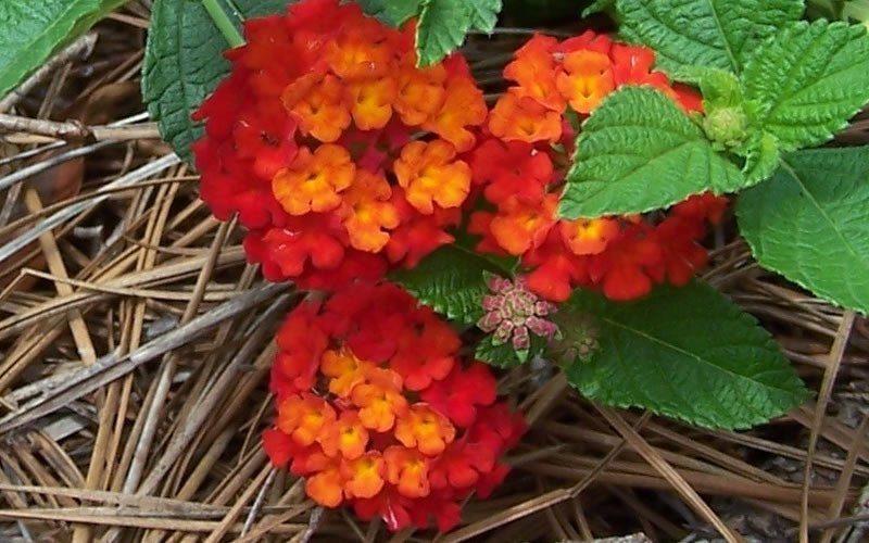 Red Spread Lantana Picture