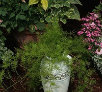 Asparagus Fern Picture