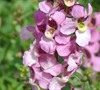Angelmist Spreading Pink Angelonia