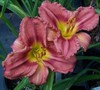Rosy Returns Daylily