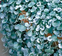 Silver Falls Dichondra Picture