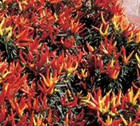 Chilly Chile Ornamental Pepper Picture