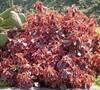 Copper Leaf Acalypha