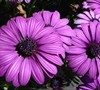 Kardinal Purple Osteospermum
