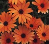 Orange Symphony Osteospermum