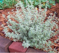 Variegated Silver Thyme Picture