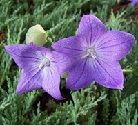 Fuji Blue Balloon Flower Picture