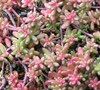 Coral Carpet Sedum