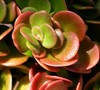 Coral Reef Sedum