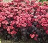 Purple Carpet Sedum