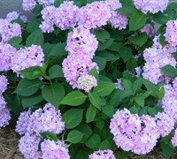 All Summer Beauty Hydrangea Picture