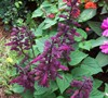 Sizzler Mix Salvia Picture