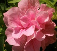 Double Pink Wave Petunia Picture