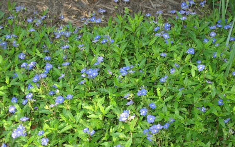 Georgia Blue Veronica Picture