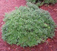 Schillings Dwarf Yaupon Holly Picture