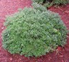 Schillings Dwarf Yaupon Holly