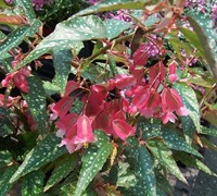 Pink Angelwing Begonia Picture