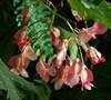 Pink Angelwing Begonia