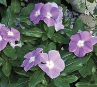 Cora Lavender Vinca Picture