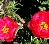 Ruby Tuesday Portulaca Picture