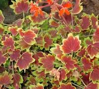 Vancouver Centennial Geranium Picture