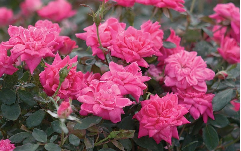Double Pink Knock Out Rose Picture