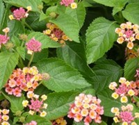 Lucky Peach Lantana Picture