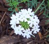 White Moss Verbena