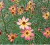 Limerock Dream Coreopsis