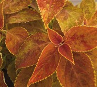 Rustic Orange Sun Coleus Picture