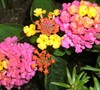 Sunrise Rose Lantana