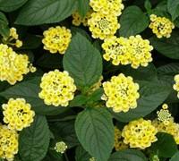 Lemon Cream Lantana Picture