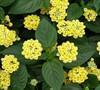 Lemon Cream Lantana