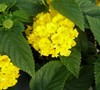Lucky Yellow Lantana