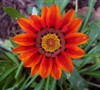 Tiger Stripe Mixed Gazania