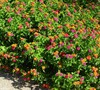 Desert Sunset Lantana
